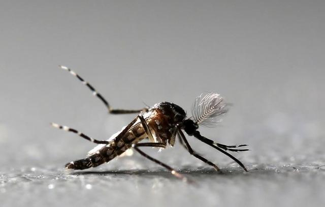 FILE PHOTO - Genetically modified male Aedes aegypti mosquitoes are pictured at Oxitec factory in Piracicaba, Brazil, October 26, 2016.  REUTERS/Paulo Whitaker