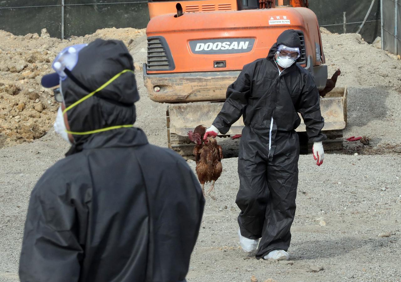 South Korea to raise bird flu alert to maximum from June 6