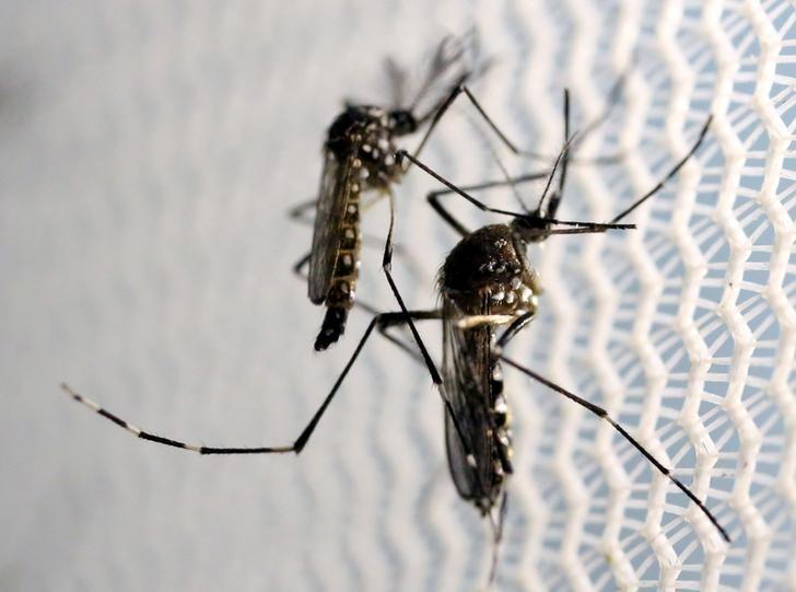 FILE PHOTO: Aedes aegypti mosquitoes are seen inside Oxitec laboratory in Campinas, Brazil, on February 2, 2016. REUTERS/Paulo Whitaker/File Photo