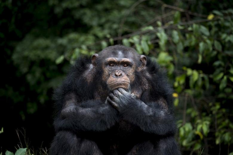 A chimpanzee named Samantha waits for her daily feeding at the Liberia Chimpanzee Rescue Project headquarters in Charlesville, Liberia, November 19, 2015. REUTERS/Malin Palm