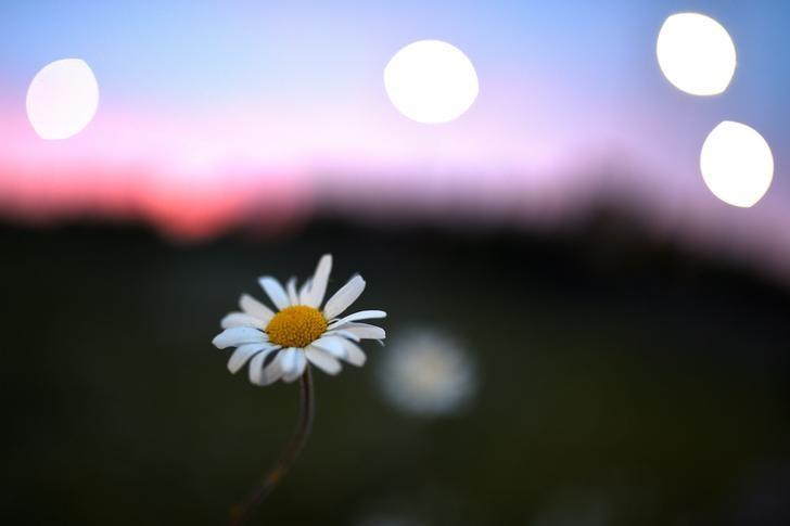 2017年5月28日,爱尔兰Galway, 在黄昏时分拍摄的一株雏菊。REUTERS/Clodagh Kilcoyne