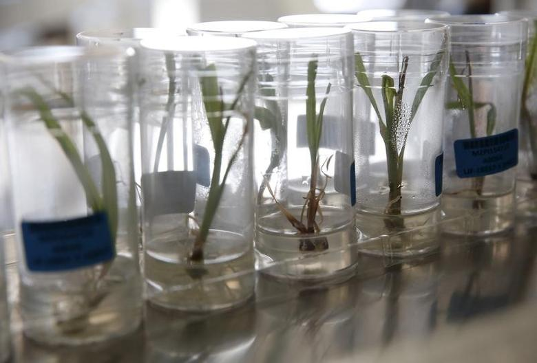 Transformed corn seeding plants are kept in tubes for studies on genetic modification at a lab in Syngenta Biotech Center in Beijing, China, February 19, 2016. Picture taken February 19, 2016. REUTERS/Kim Kyung-Hoon