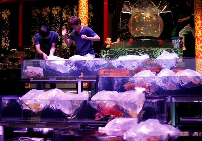 Staff put plastic bag holding fish into tanks as they prepare the Art Aquarium exhibition in Tokyo, Japan July 5, 2017. Kim Kyung-Hoon