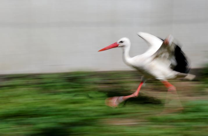 An injured stork, which received a prosthetic leg, runs in an outdoor recovery center at a hospital for wild birds in Hortobagy National Park, Hungary June 27, 2017. Laszlo Balogh