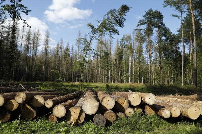 Logged trees are seen after logging at one of the last primeval forests in Europe, Bialowieza forest, Poland August 29, 2017. Kacper Pempel