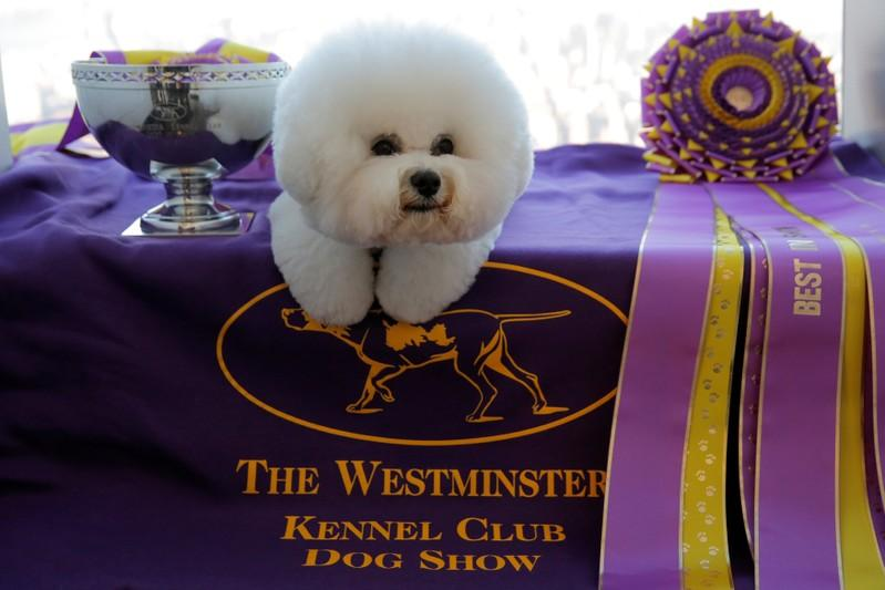 Flynn the bichon frise fetches top prize at Westminster ...