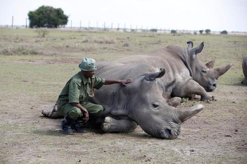 Last of the northern white rhinos