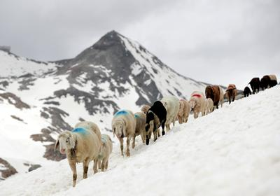 Shepherds guide sheep in Alpine crossing