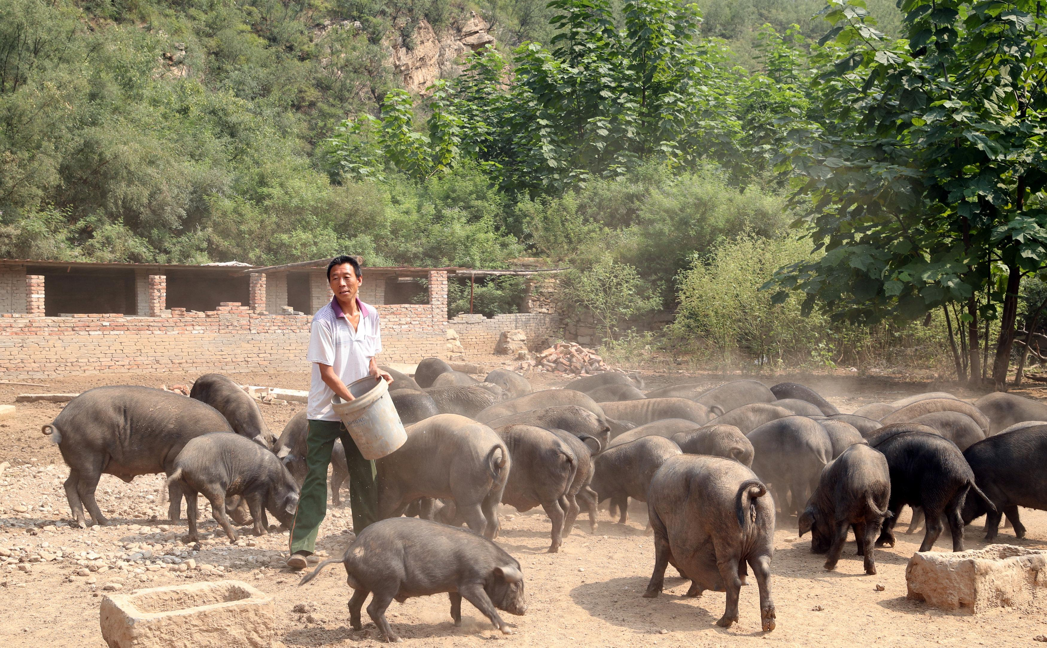 A worker feeds pigs at a farm in Xibaishan village in Hebei province, China August 28, 2018. Picture taken August 28, 2018. Stringer