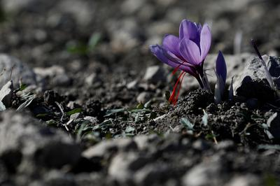 Greece's saffron trade blooms in wilted economy