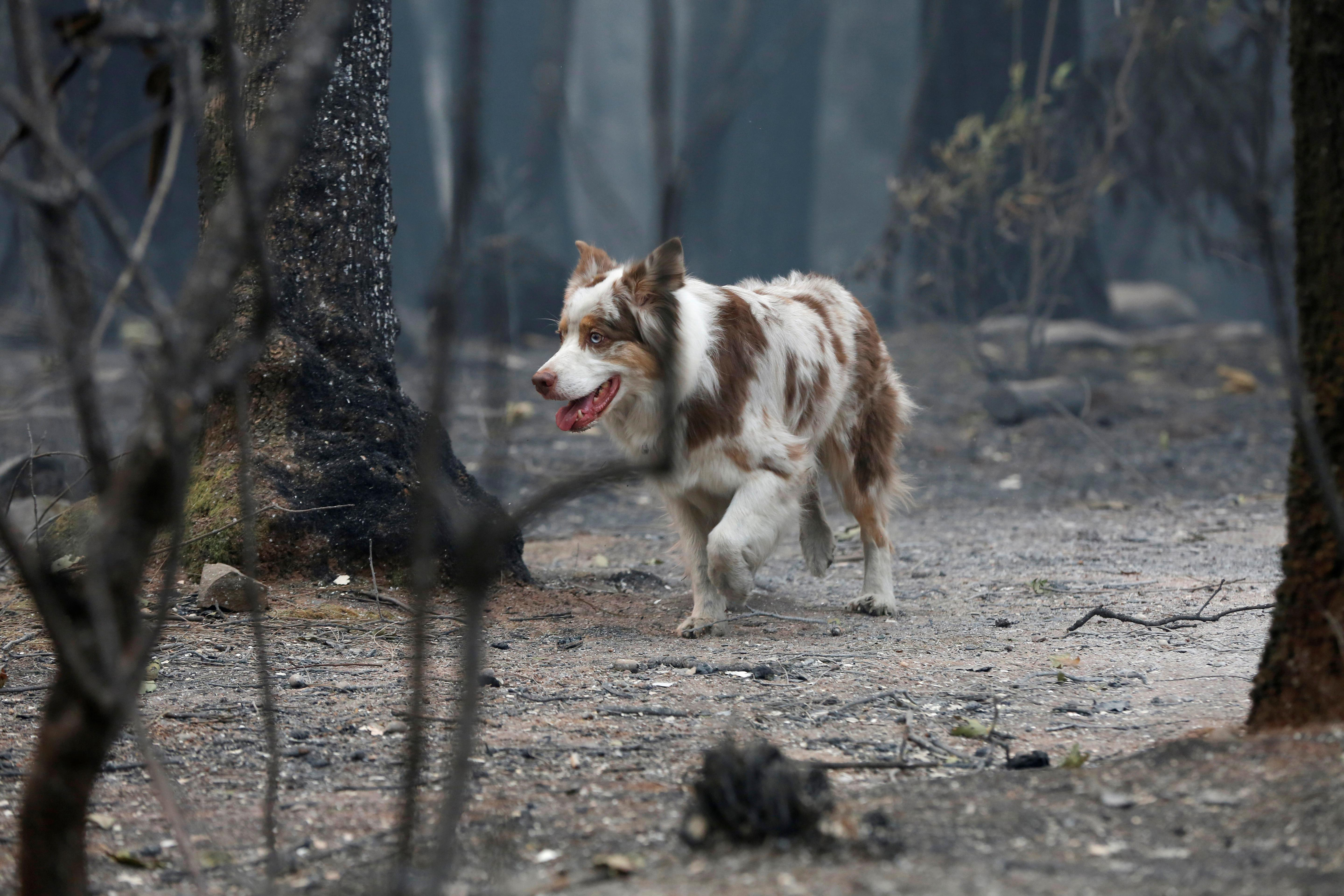 Cadaver Dogs Lead Grim Search For Victims In California Fire Reuters