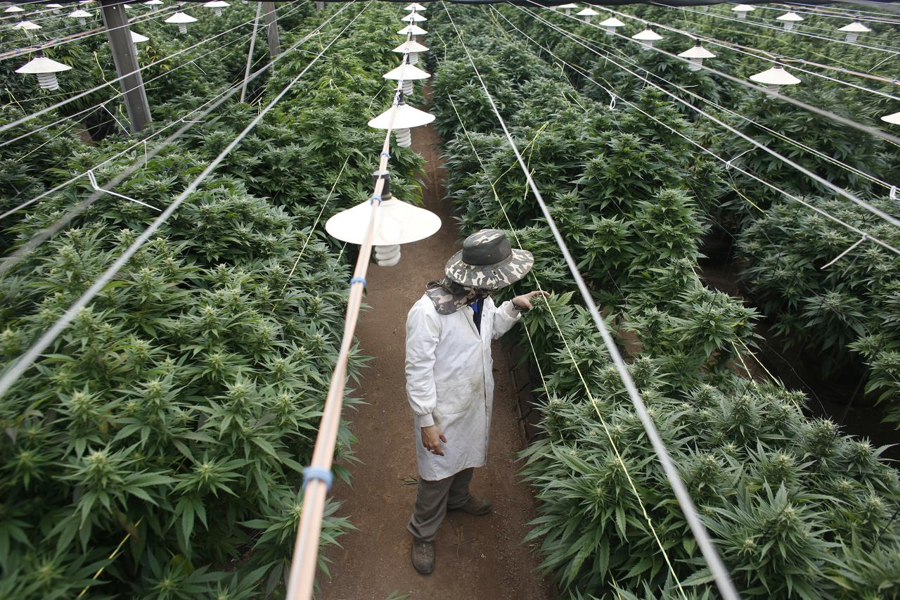 Israel likely to allow medical cannabis exports by year-end: senior