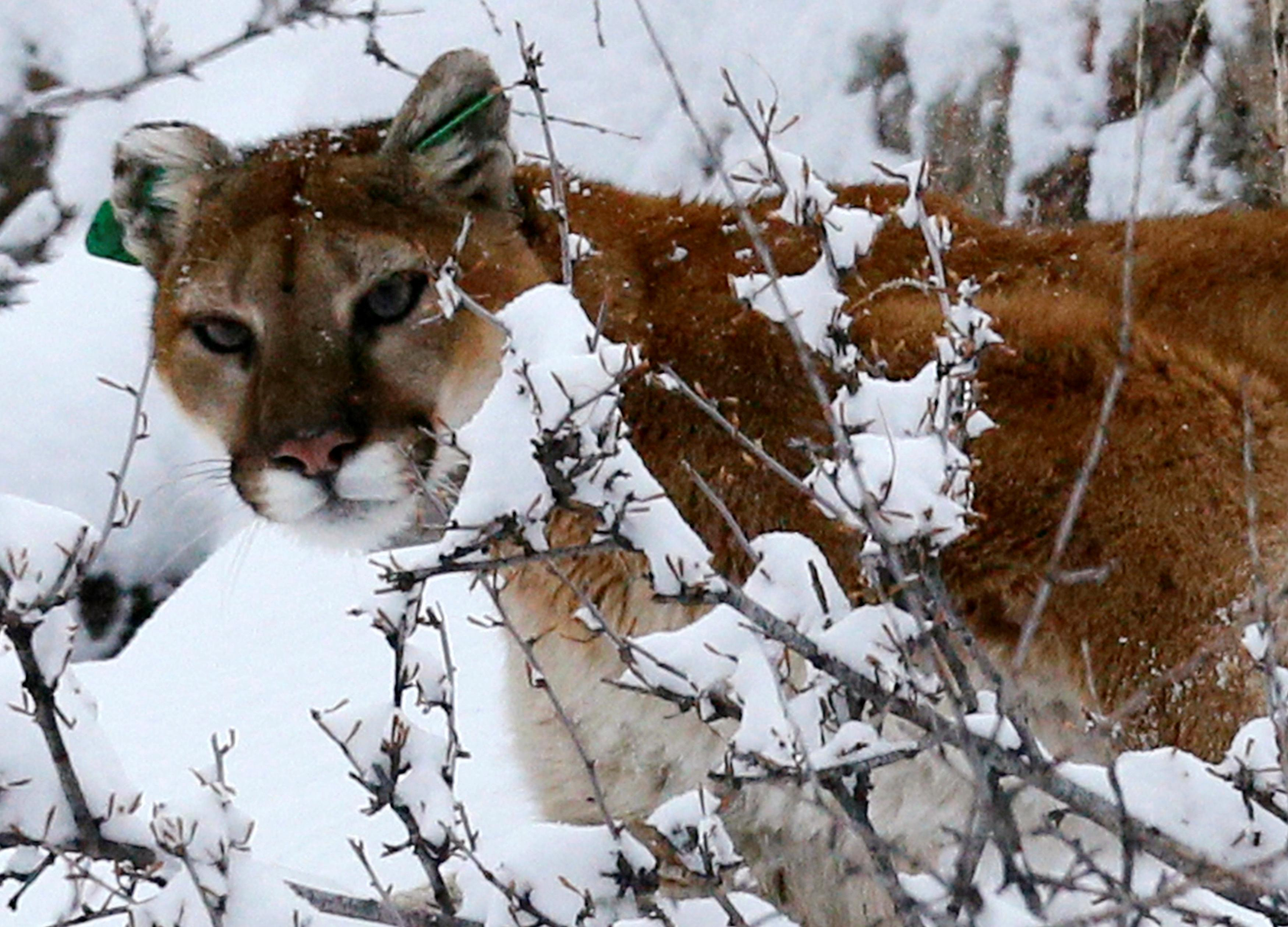 75745ac78 Colorado jogger strangles mountain lion after attack on trail - Reuters