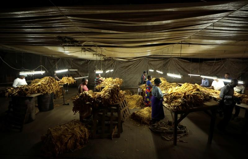 Zimbabwe tobacco output set to dip to 240 million kg after drought