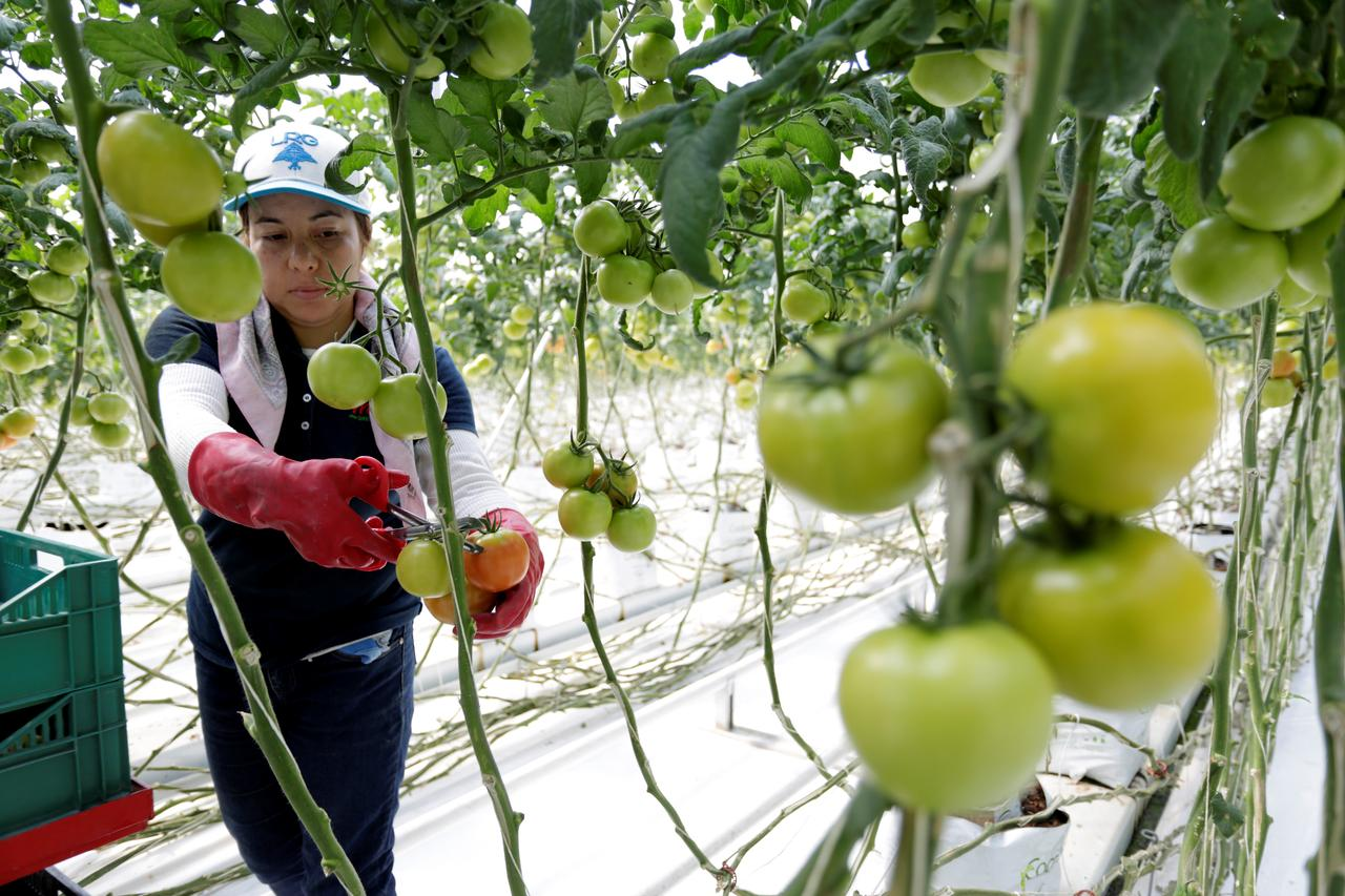 U S  to levy tariff on imported Mexican tomatoes in trade