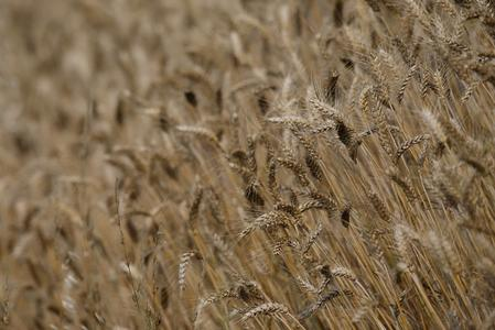 EU wheat in good shape after rain eases concerns over dry spring