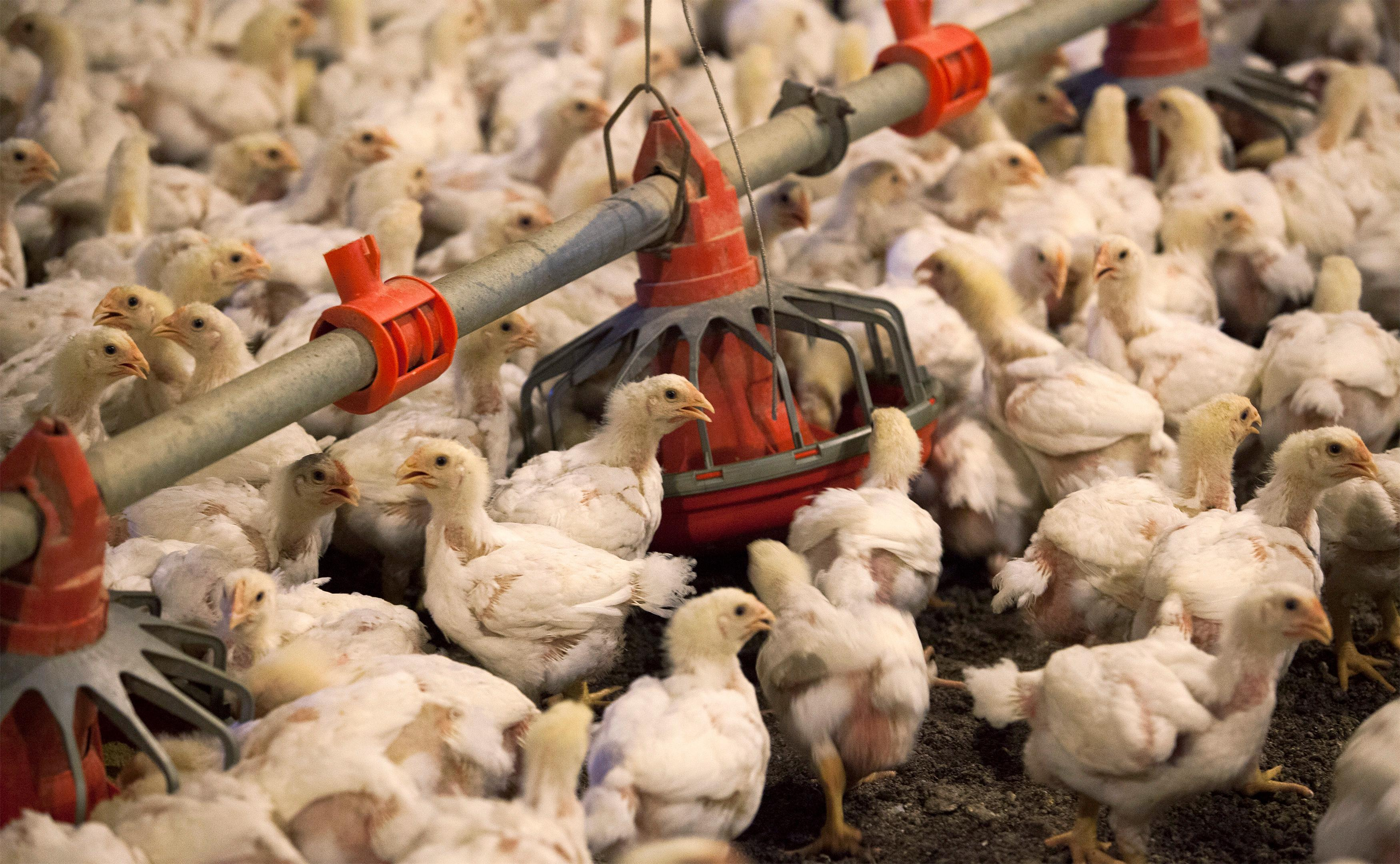 Judge gives U.S. a role in chicken price-fixing civil case amid criminal probe