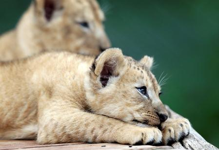 Rare Barbary lion cubs make their debut at Czech Zoo