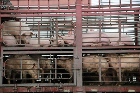 China to investigate local authorities' efforts to control African swine fever