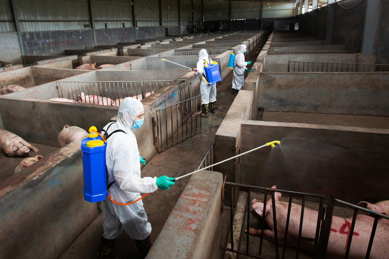 Image result for Local husbandry and veterinary bureau workers in protective suits disinfect a pig farm as a prevention measure for African swine fever, in Jinhua, Zhejiang province, China, August 2018. (REUTERS/Stringer)