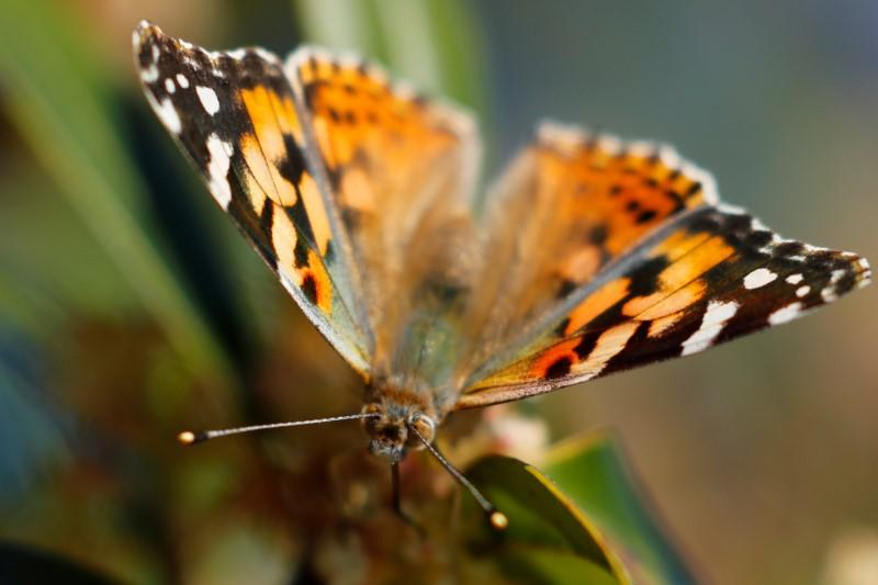 Millions of Painted Lady butterflies expected to start arriving in...
