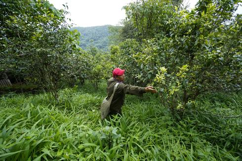 Global warming reshapes almanac for tea growers in China's Yunnan