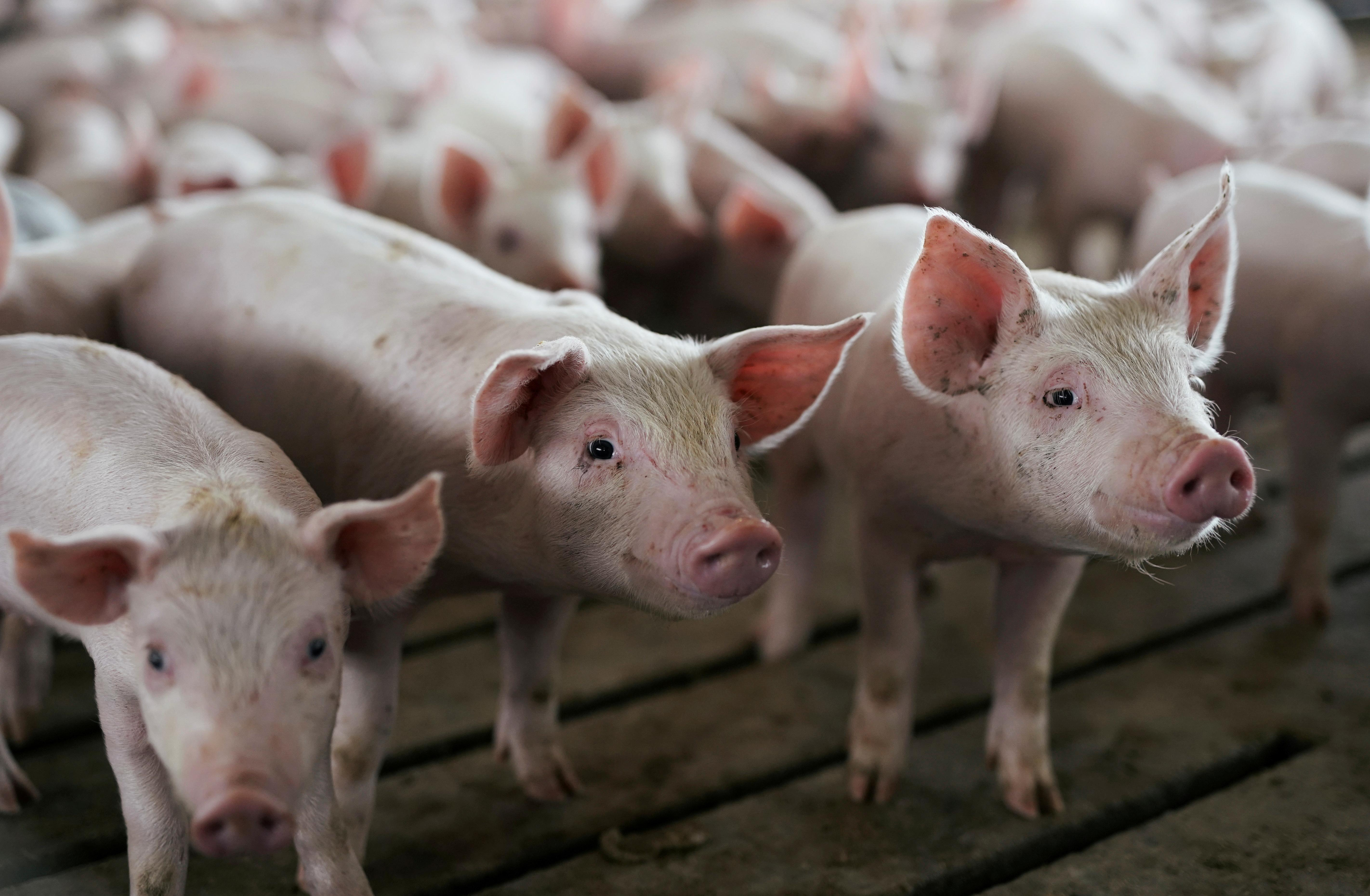 U S  cows and pigs gorge on bakery rolls, pet food as corn