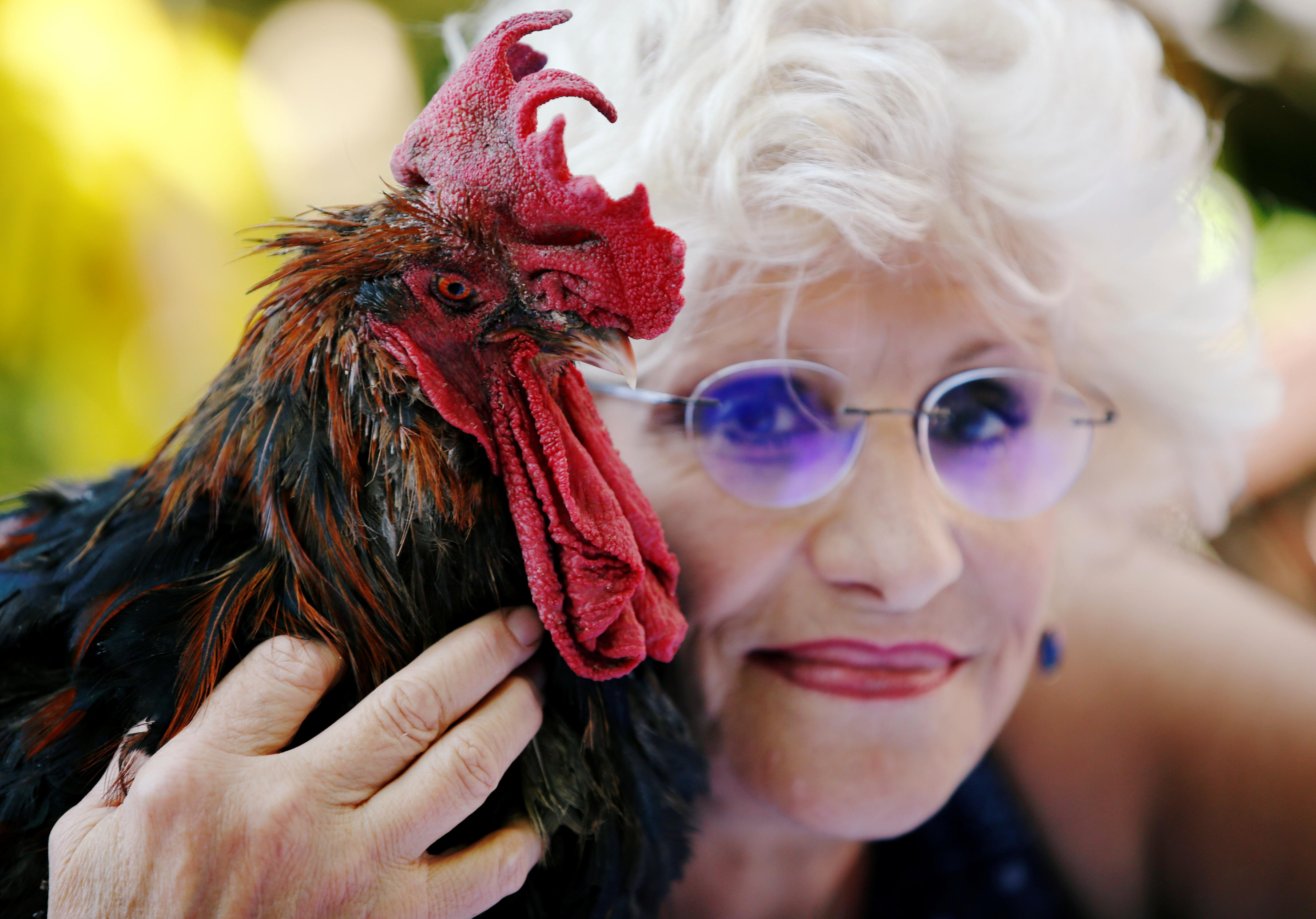 Maurice the Rooster pitches city slickers against locals in rural...