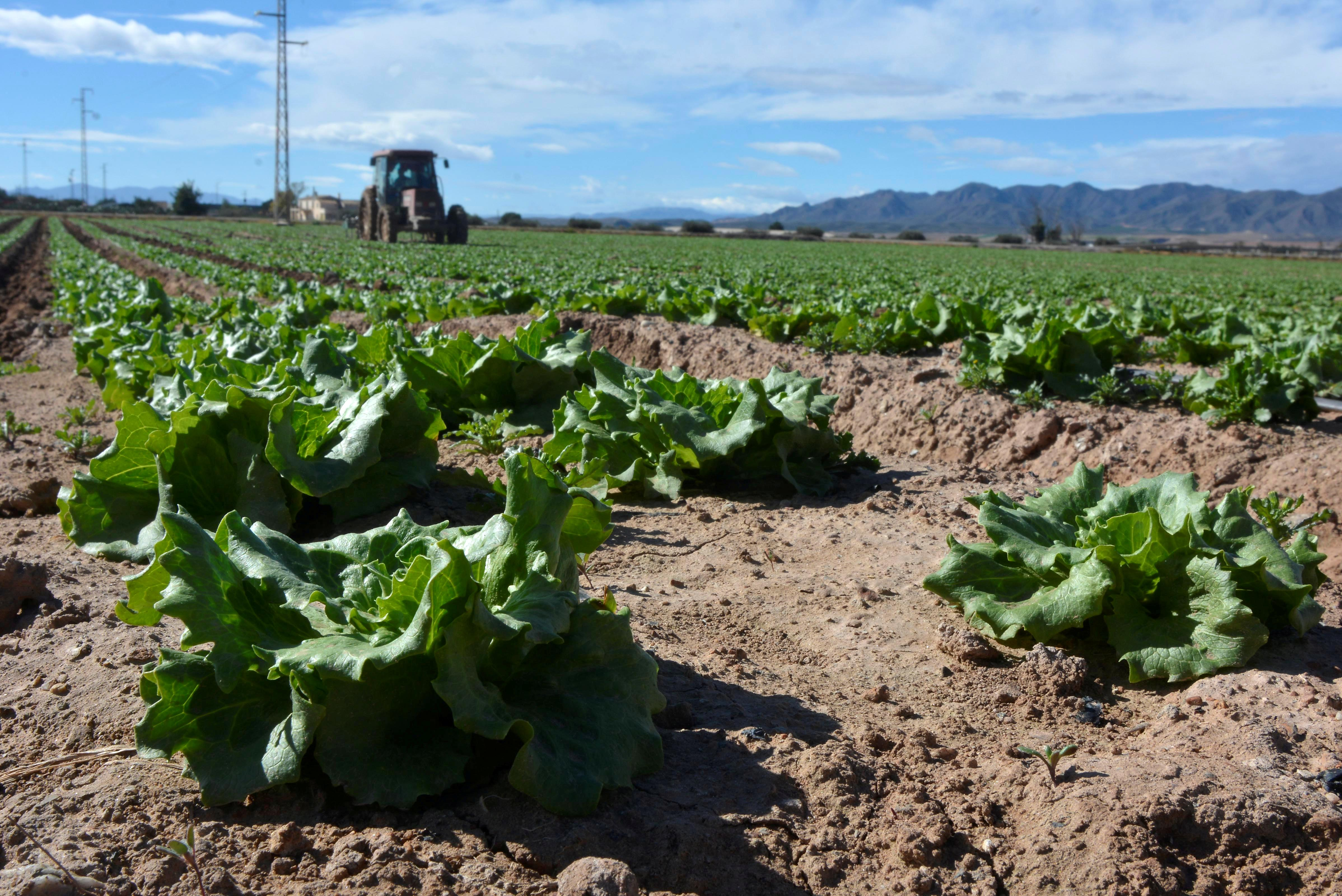 Getting lettuce into Britain: Spanish farmers baulk at no-deal Brexit