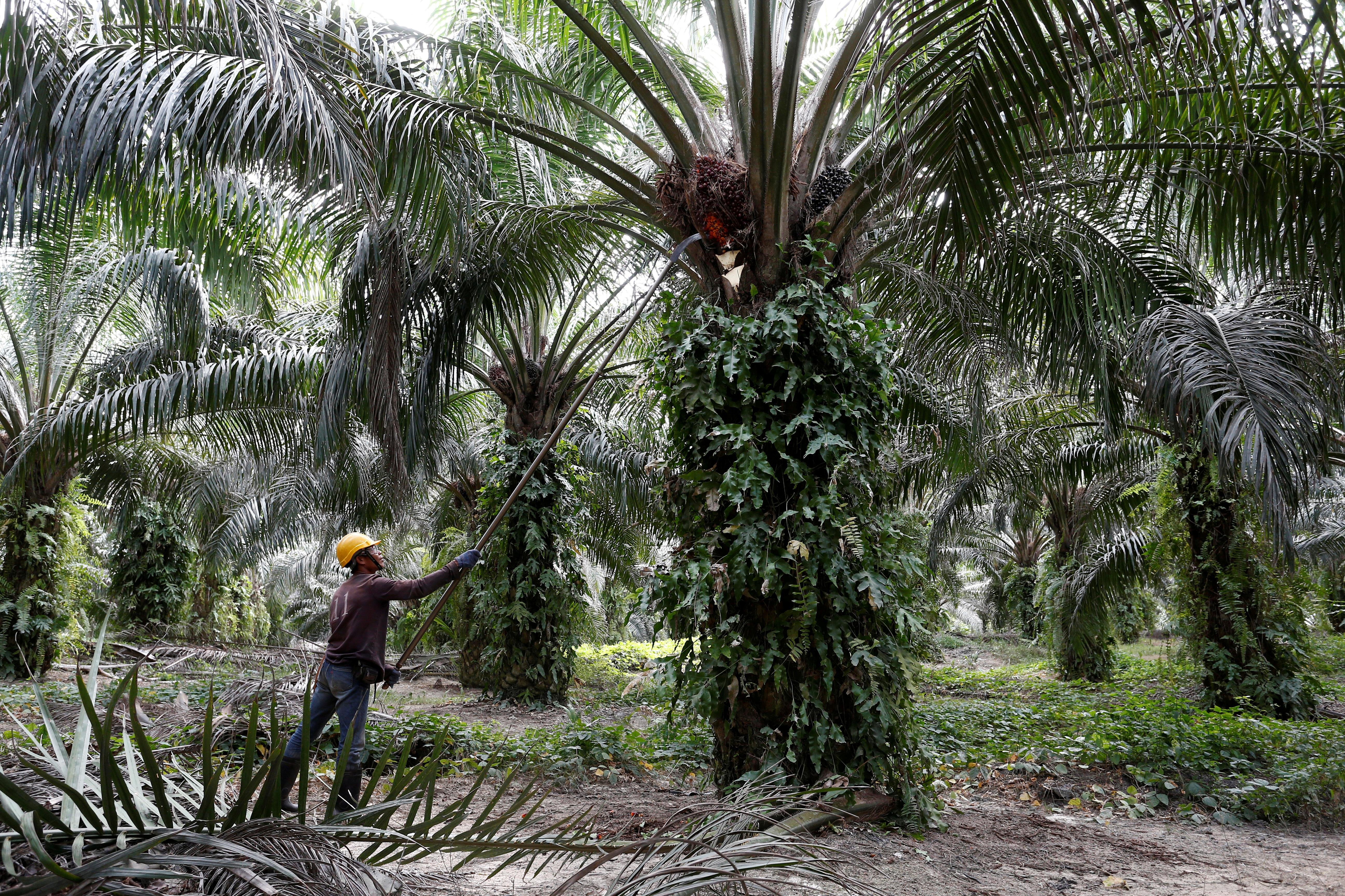 Exclusive: Indian buyers slash Malaysian palm oil purchases fearing...