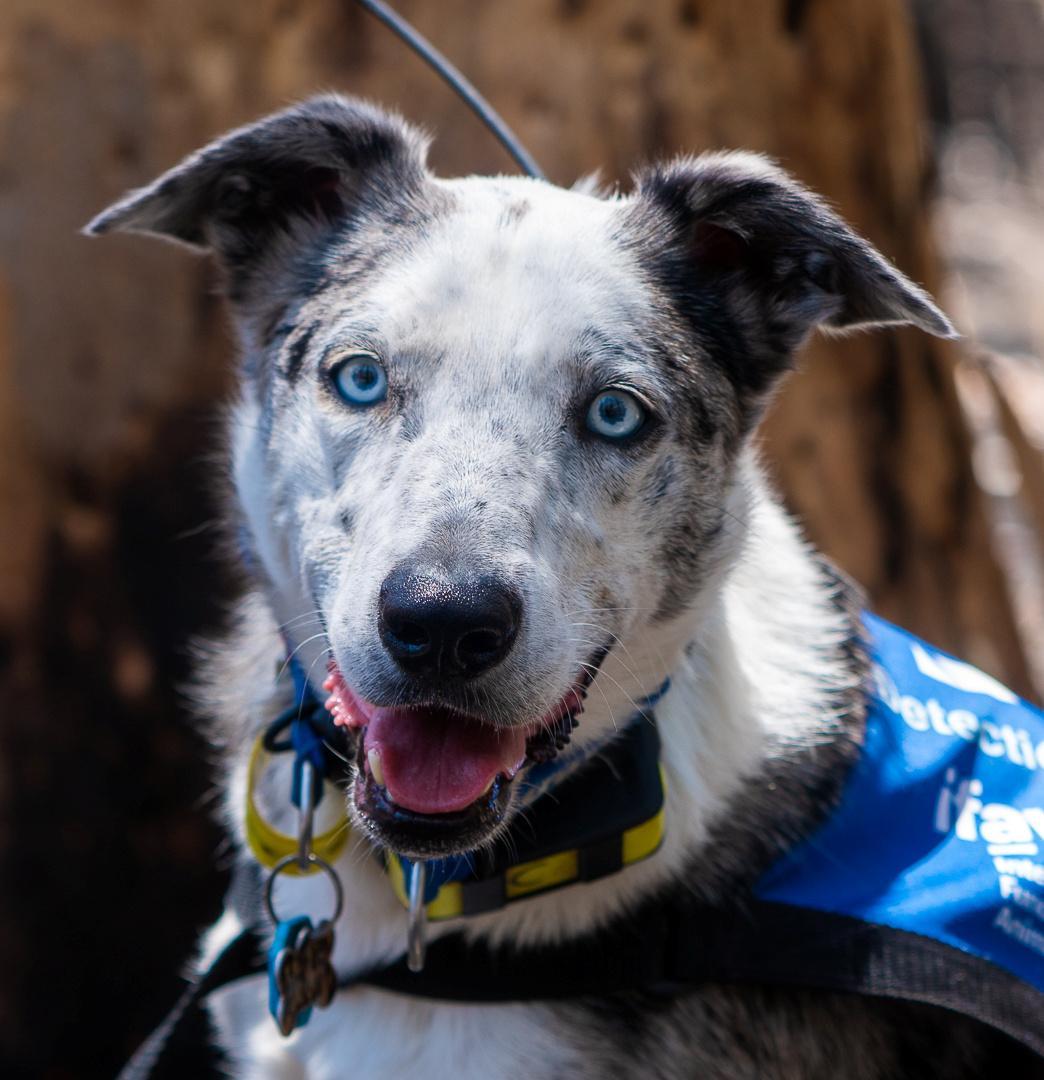 'Bear' the dog helps find koalas injured in Australian bushfires