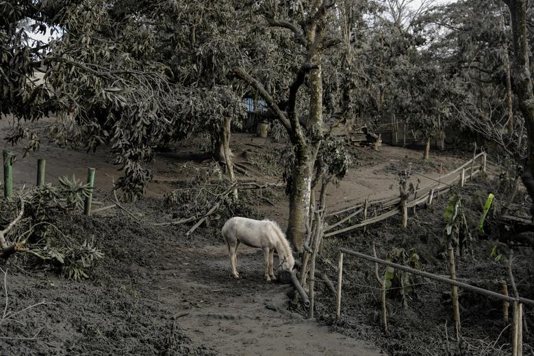 Un caballo alquilado para turistas se deja en un parque lleno de cenizas volcánicas y ramas caídas en la ciudad de Tagaytay, Filipinas, el 14 de enero. REUTERS / Eloisa Lopez