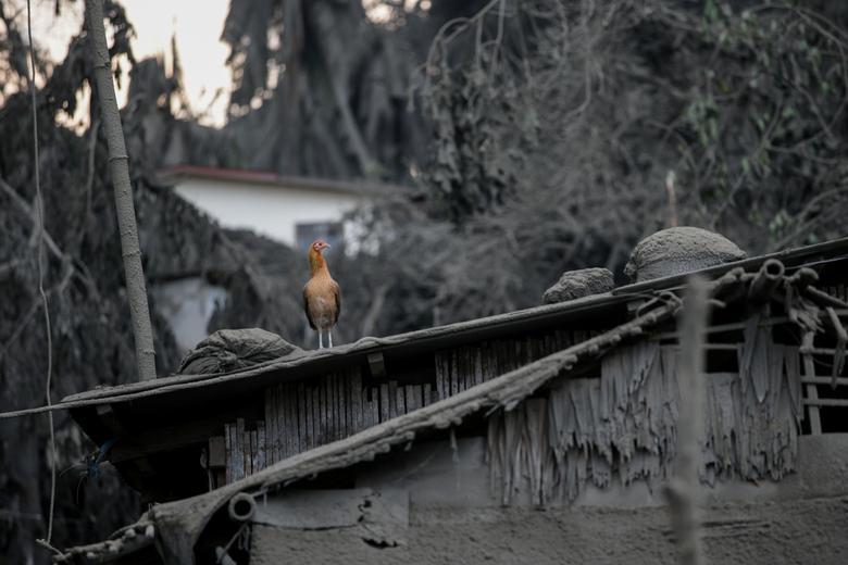 Un pájaro se sienta sobre un techo cubierto de cenizas del volcán en erupción Taal evacua en Talisay, Batangas, Filipinas, el 13 de enero. REUTERS / Eloisa Lopez