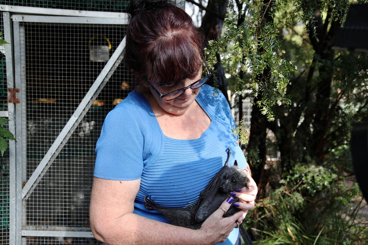 Rescuer opens home to baby flying foxes orphaned by Australian...