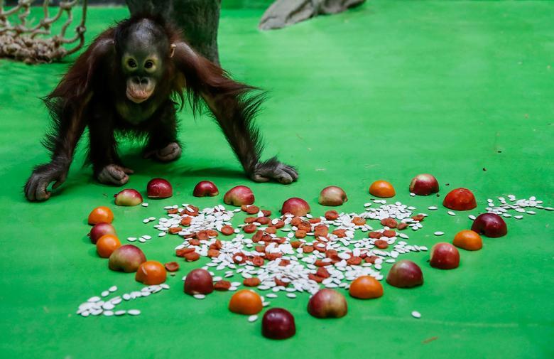Un bebé orangután se acerca a un regalo el día de San Valentín en el zoológico de Moscú.  REUTERS / Maxim Shemetov