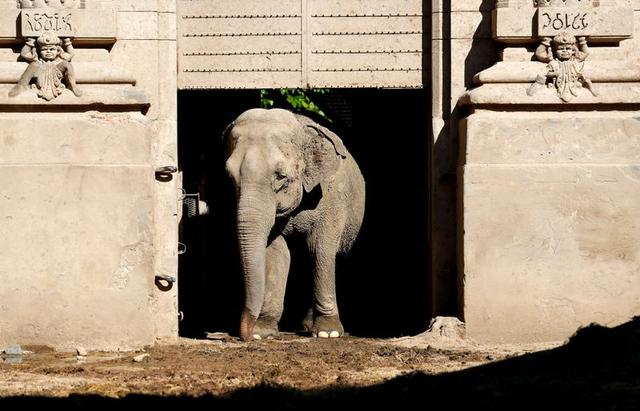 Asian elephant Mara, 54, walks out of her enclosure at the former city zoo now known as Ecopark in Buenos Aires, Argentina February 18, 2020.  REUTERS/Agustin Marcarian