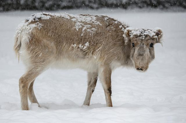 FILE PHOTO: A Saiga antelope stands amidst snow inside an enclosure at a zoo in Almaty, Kazakhstan February 16, 2020. REUTERS/Pavel Mikheyev/File Photo