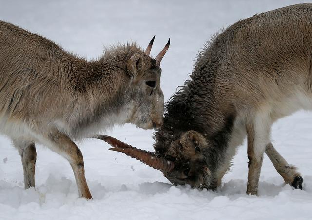 FILE PHOTO: Saiga antelopes react inside an enclosure at a zoo in Almaty, Kazakhstan February 16, 2020. REUTERS/Pavel Mikheyev -/File Photo