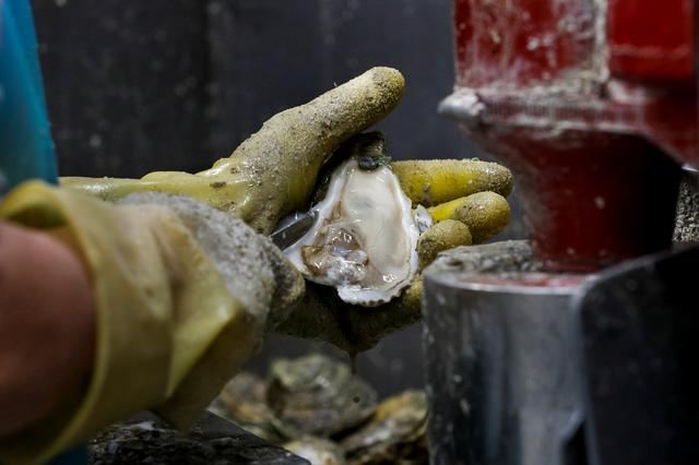 Alicia Odum of Barber's Seafood in Eastpoint, Florida, U.S., removes meat from the shell of an oyster from Texas, which the company is using to fulfill their orders as the Apalachicola Bay, which was once the company's only source for oysters no longer produces enough shellfish to meet demand, February 11, 2020.   REUTERS/Colin Hackley