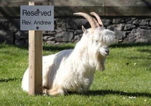 Goats invade Welsh seaside resort town