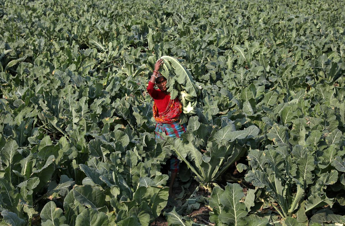 Coronavirus lockdown leaves no-one to harvest India's crops