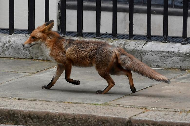 A fox is seen in Downing Street, London, April 29, 2020.    REUTERS/Toby Melville