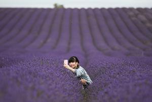 Lavender fields draw selfie-seeking visitors
