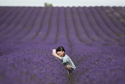 Lavender fields draw selfie-seeking visitors