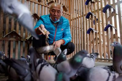 China's pigeon fanciers race for fame and fortune