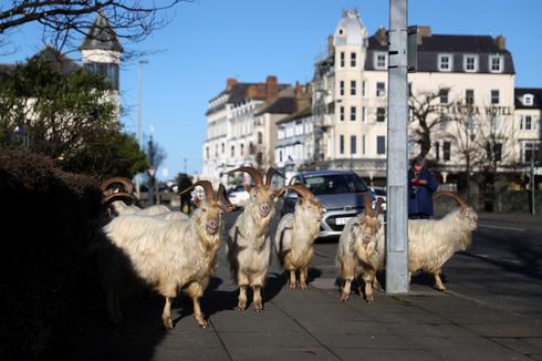 Goats invade streets of Welsh seaside town again