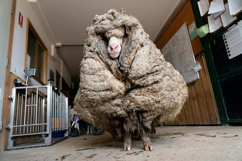 Rescued Australian sheep freed from wool weighing 78 pounds