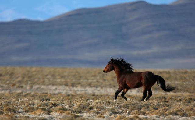 FILE PHOTO: A wild horse gallops across a range as the Bureau of Land Management (BLM) gathers horses along Highway 21 near the Sulphur Herd Management Area south of Garrison, Utah, February 25, 2015. REUTERS/Jim Urquhart/File Photo