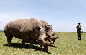 The world's last two northern white rhinos